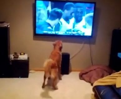 tv watching dogs