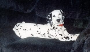 black and white dalmatian on black couch 2