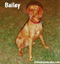 Bailey the Vizsla