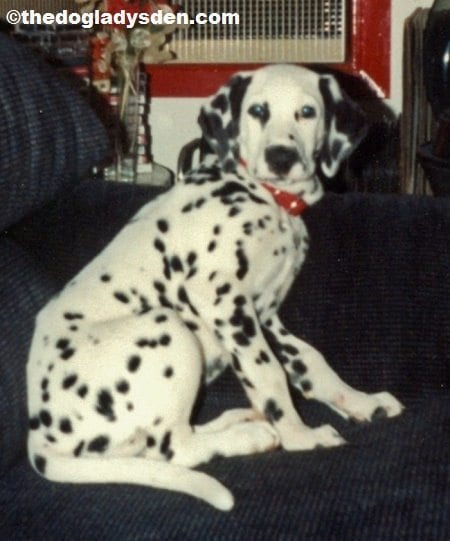 #AtoZChallenge 2016: D is for Dalmatian
