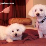 B is for BICHON FRISE | #AtoZChallenge