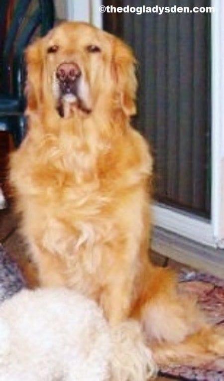 Cody, aka Grandson, #AtoZChallenge G is for Golden Retriever