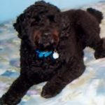 P is for PORTUGUESE WATER DOG | #AtoZChallenge