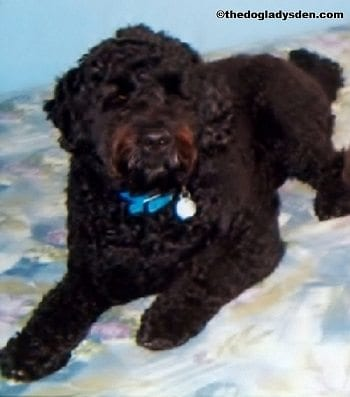 #AtoZChallenge: P is for Portuguese Water Dog
