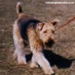 A is for AIREDALE TERRIER | #AtoZChallenge