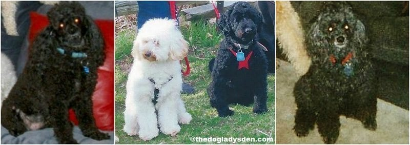 #AtoZChallenge: M is for miniature poodle
