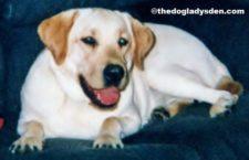 #AtoZChallenge 2016: L is for Labrador Retriever
