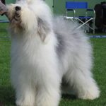 O is for OLD ENGLISH SHEEPDOG | #AtoZChallenge