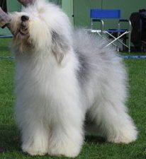 Old English Sheepdog 256px