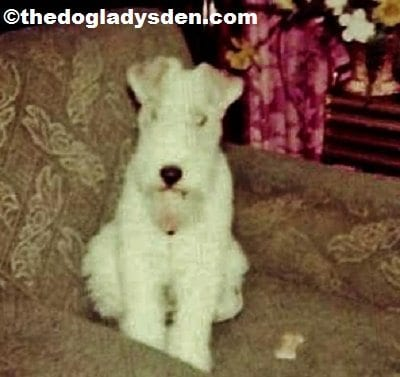 #AToZChallenge Day 6: F is for Fox Terrier