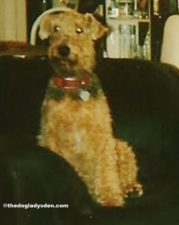 #AtoZChallenge Day 1: A is for Airedale Terrier