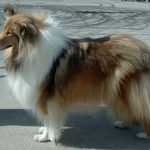 R is for ROUGH COLLIE | #AtoZChallenge