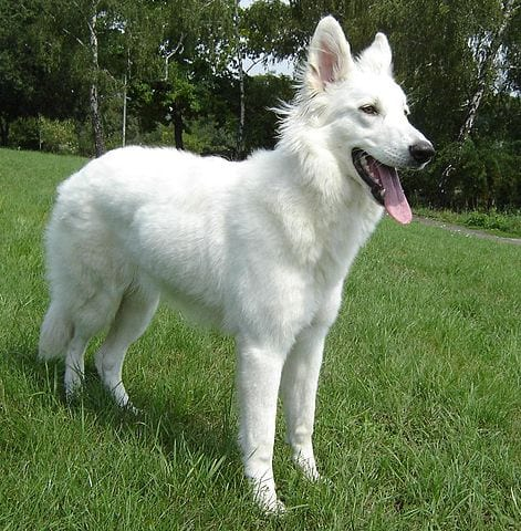 #AtoZChallenge: W is for White Shepherd