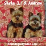 Y is for YORKSHIRE TERRIER | #AtoZChallenge
